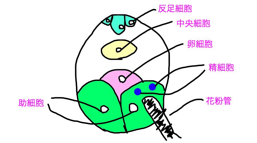 重複受精の様子