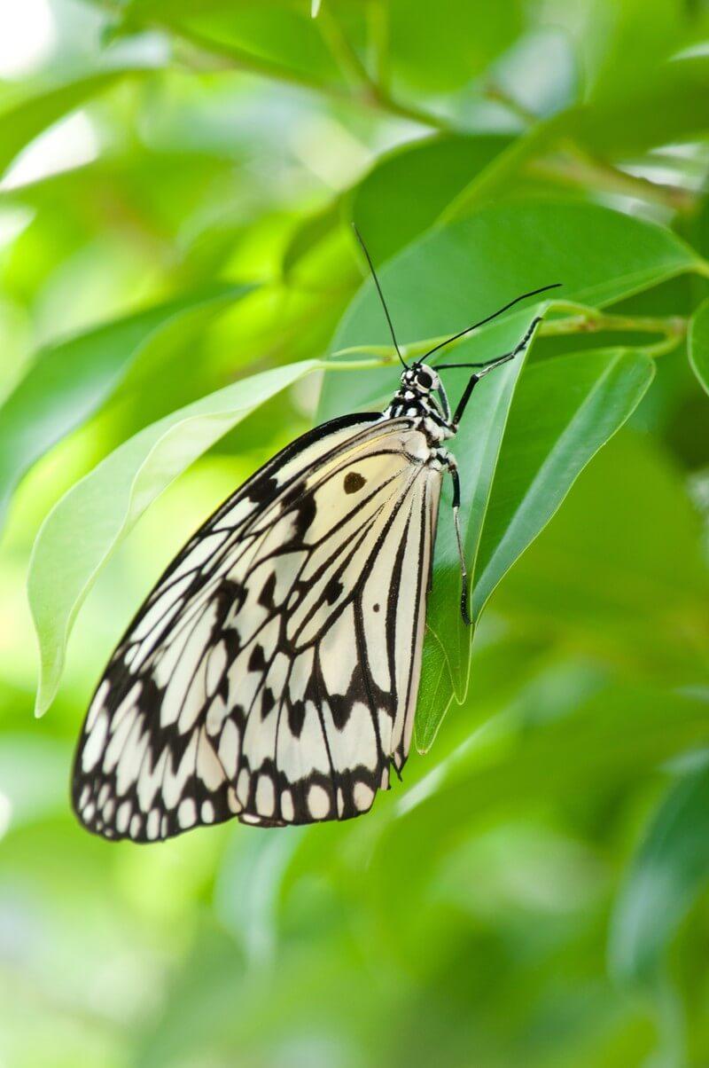 チョウの成虫