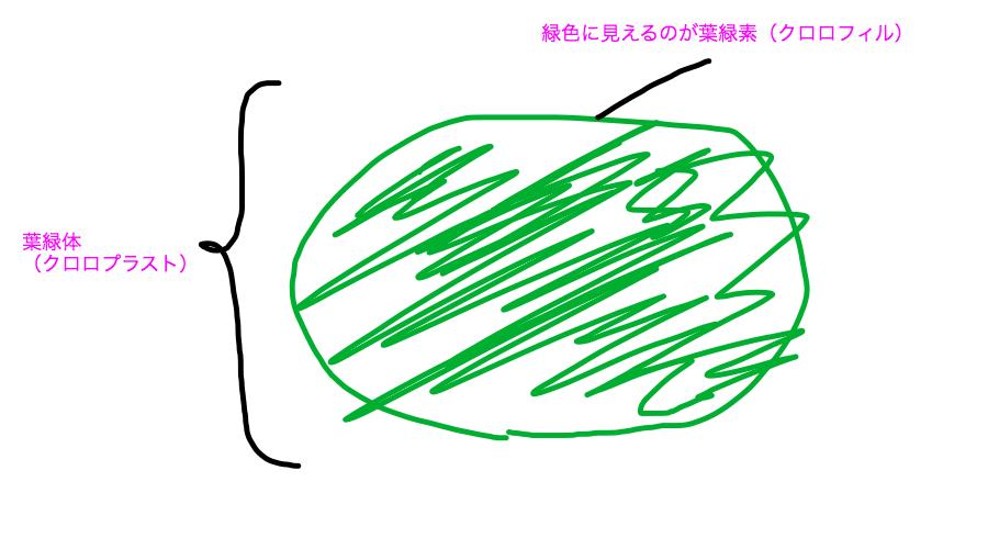 葉緑体(クロロプラスト)と葉緑素(クロロフィル)