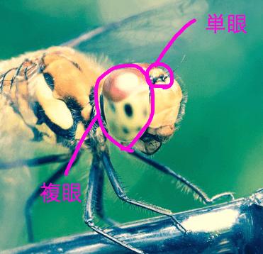 トンボの複眼と単眼