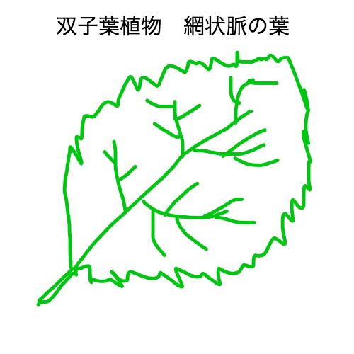 双子葉植物の網状脈の葉