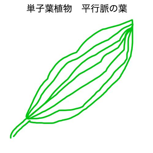 単子葉植物 平行脈の葉