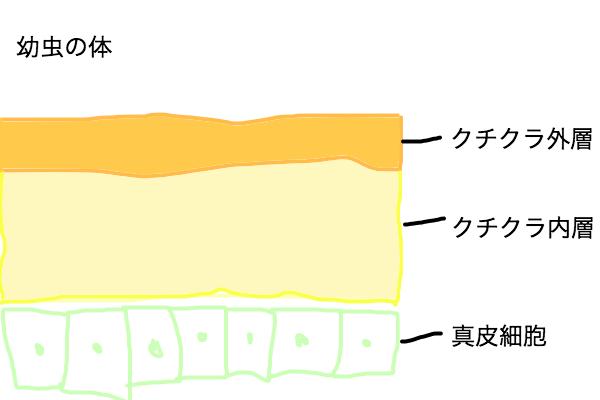 幼虫のクチクラ、真皮細胞